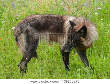Grey Wolf (Canis lupus) Stands Looking Left - captive animal