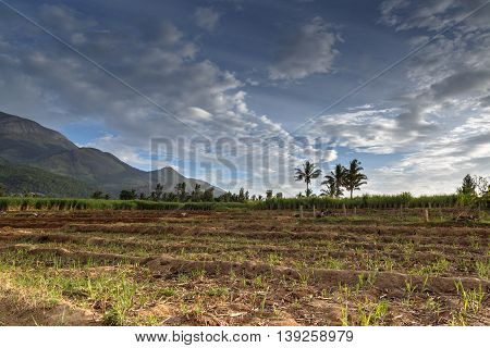 View of a typical sugar cane field in Marayoor village near Munnar Kerala India