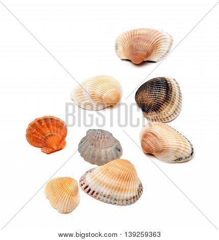 Sea shells isolated on white background .