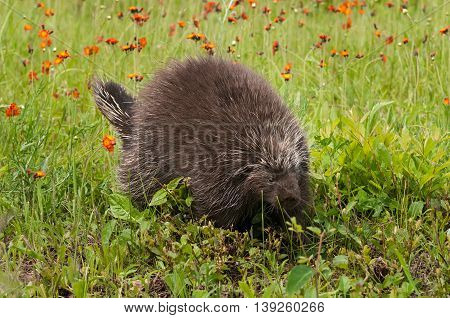 Porcupine (Erethizon dorsatum) Waddles Right - captive animal