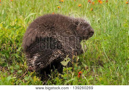 Porcupine (Erethizon dorsatum) Looks Back - captive animal