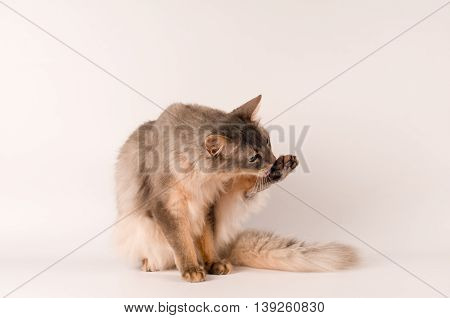 Somali cat blue color on white background licks itself