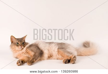 Somali cat blue color on white background lying portrait