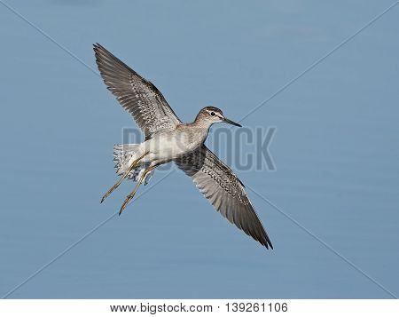 Wood sandpiper (Tringa gladiola) in flight with blue water in the background