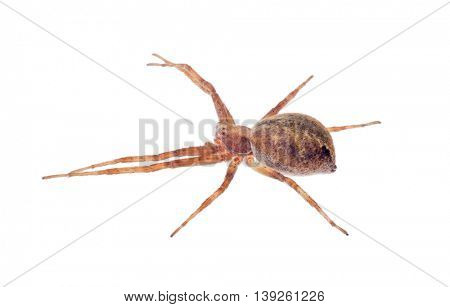 small spider isolated on white background
