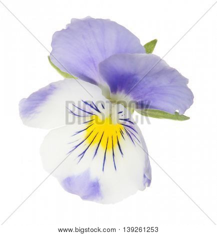 lilac pansy isolated on white background