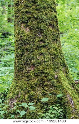 Moss Covers Large Tree Trunk in Smokies forest