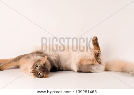 Somali cat blue color on white background playing