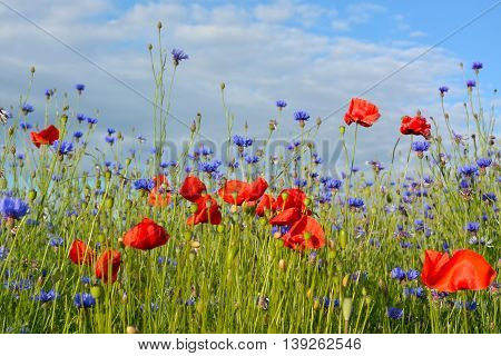 Beautiful Wild Flower Meadow