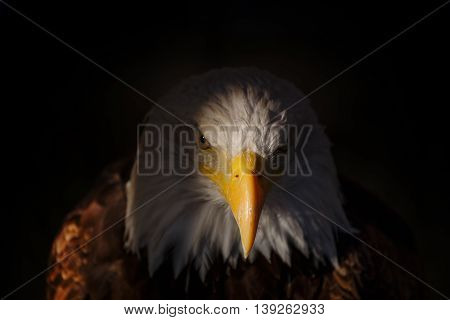 Detail of the head of a Bald eagle