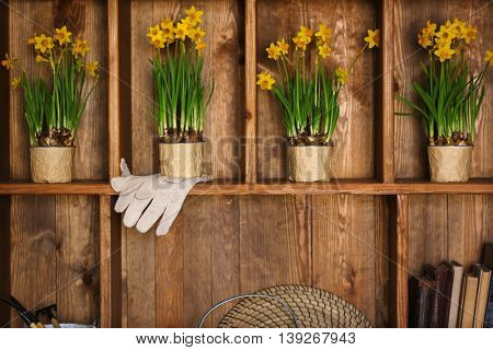 Blooming narcissus flowers on wooden background