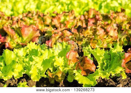 Rows of fresh lettuce plants on a field, ready to be harvested. colorful, horizontal