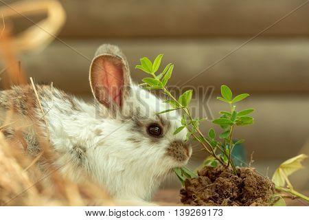 Domestic Cute Rabbit