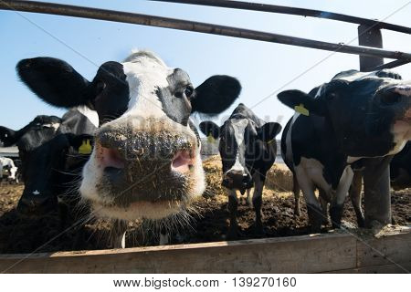 Cows are in stable peek through fences in farm at sunny day, close up
