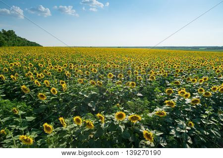 Large field of yellow sunflowers and sky on summer day, clouds in sky