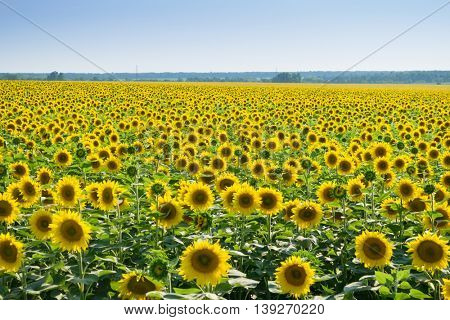 Bright field of yellow sunflowers and sky on warm sunny summer day