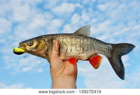 Chub in fisherman's hand shot against blue cloudy sky