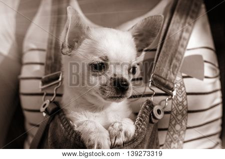 puppy chihuahua in the bosom of the girl at sunset.