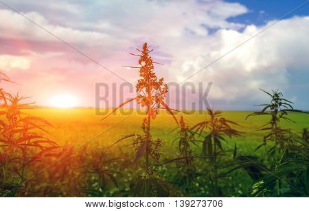 field with cannabis on a background of the sky with clouds. marijuana bush at sunset