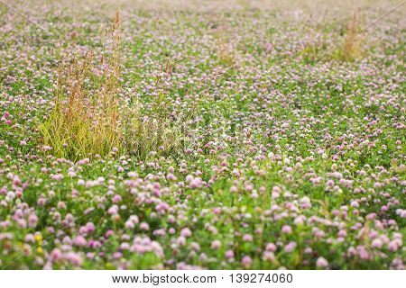 Summer concept for nature backgraund: Abundance of blooming wild flowers on the field at summer, sunny day.