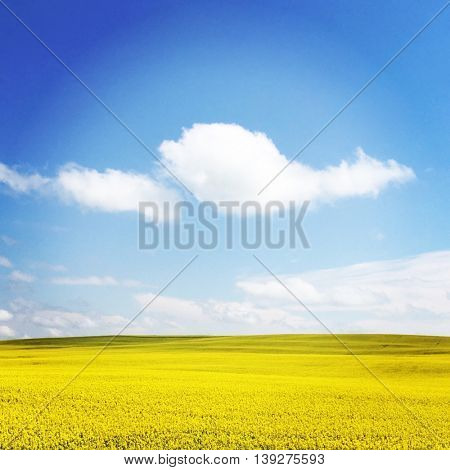 Canola Fields in Alberta, Canada  - Instagram effect