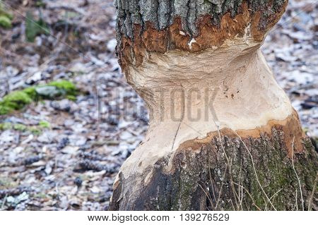 Tree targeted by beaver for use in dam