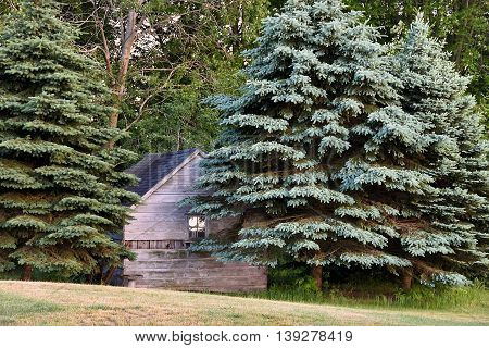 Rustic wooden cabin in blue spruce pine trees.