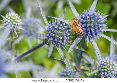 Honey bee feeding on the nectar of a blue globe thistle