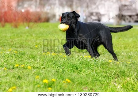 black dog Labrador Retriever playing with ball in a city Park caught and carries it in his teeth