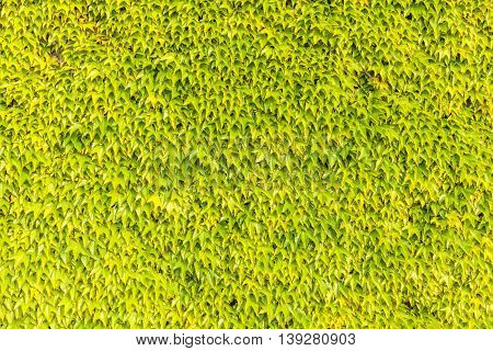 Fresh green ivy leaves on exterior wall background.