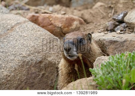 Marmot hiding under rocks in Durango, CO