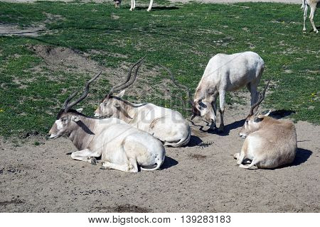 An addax antelope (Addax nasomaculatus) prepares to butt the back of another addax who is resting on the ground.