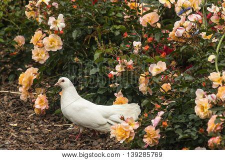 closeup of white down in rose garden