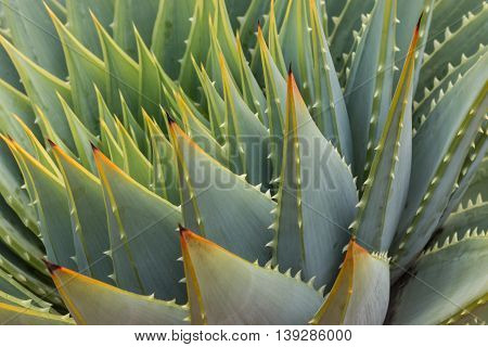 detail of spiral aloe cacti leaves and thornes