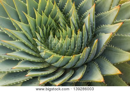 close up of spiral aloe cacti leaves