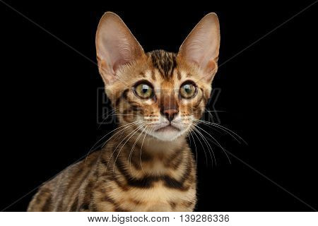 Closeup Portrait of Young Bengal Female Kitty on Isolated Black Background, Side view