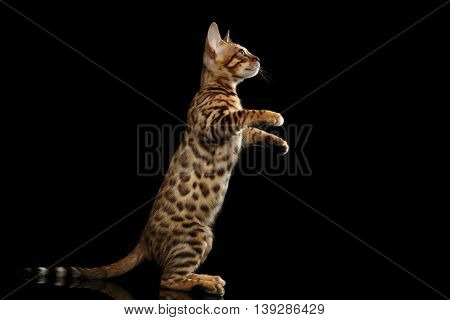 Little Bengal Kitty Standing on hind legs and Playful Looks, Isolated Black Background, Side view