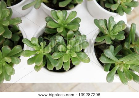Miniature succulent plants decorated