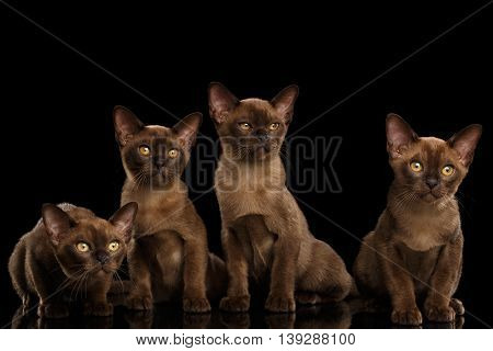 Four Cute Burma Kittens Sitting and Curious Looking in Camera, Isolated Black Background, Front view, Cat family