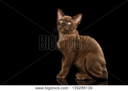 Little Burma Kitty Sitting and show his shiny Chocolate Fur, Calmly Looking up, Isolated Black Background, Side view