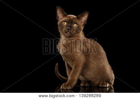 Little Burma Kitty Sitting and show his shiny Chocolate Fur, Calmly Looking up, Isolated Black Background, Front view