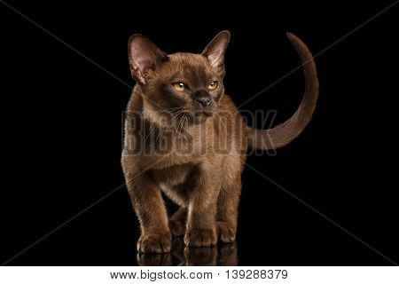 Little Burma Kitty Walking and show his Chocolate Fur, Calmly Looking up, Isolated Black Background, Front view