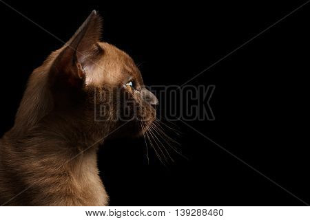 Closeup Profile of Young Burma Kitty on Isolated Black Background, Side view