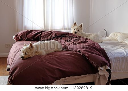 Two west highland white terrier westie dogs on a bed in a messy bedroom.