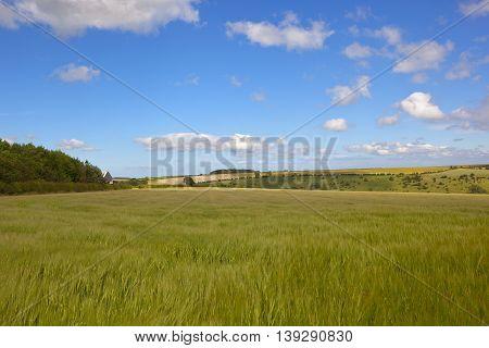 Barley Field With Woodland