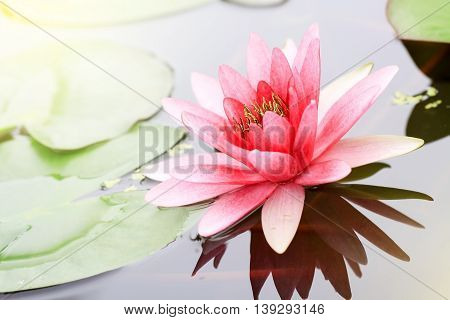pink water-lily in nature pond the water-lily is a symbol of holy flower in Buddhism flower use offer sacrifice for monk and Buddha image