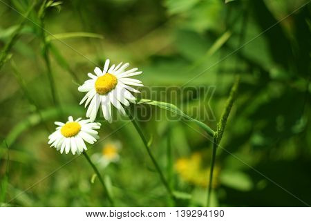 Flowering. Blooming Chamomile In The Grass. Blurred Background