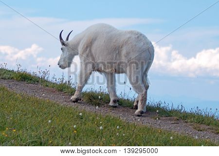 Male Billy Goat walking up Hurricane Ridge in Olympic National Park in Washington USA