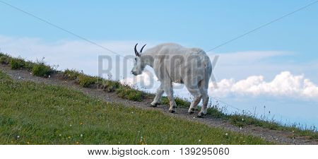 Male Billy Goat walking up Hurricane Ridge / Hill in Olympic National Park