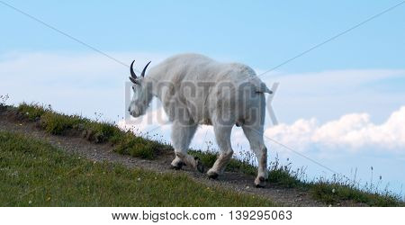 Male Billy Goat walking up Hurricane Ridge / Hill in Olympic National Park in Washington